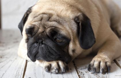 sad pug on hardwood floor