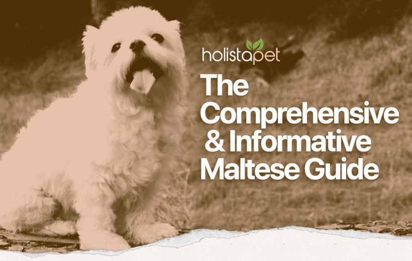 maltese dog breed featured blog image