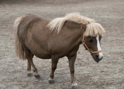 mini horse on a farm