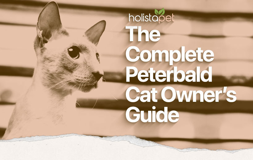peterbald cat breed featured blog image