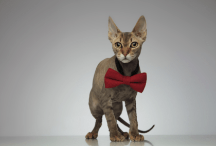 cat with big red bow collar