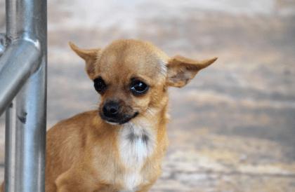 chihuahua dog looking sad
