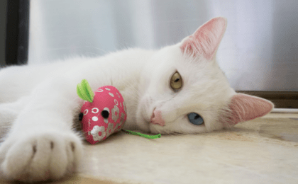 white feline relaxing with a mouse toy