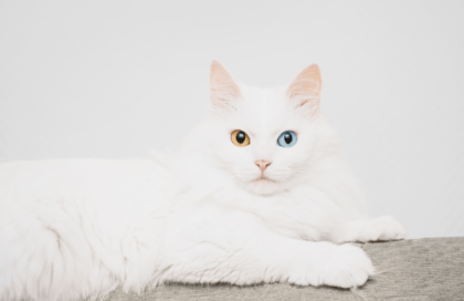 white cat with a blue and brown eye