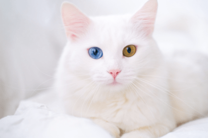 white cat with different eye colors sitting on a bed