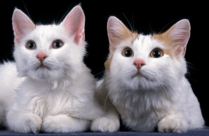 two kittens side by side with a black back ground