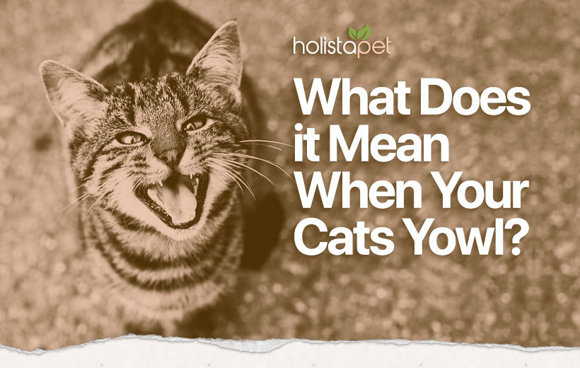 why is my cat yowling blog featured image