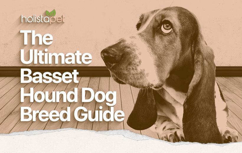 basset hound dog breed featured blog image