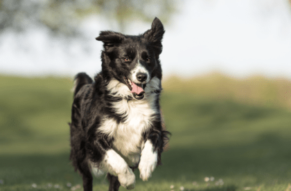 black and white dog running on field