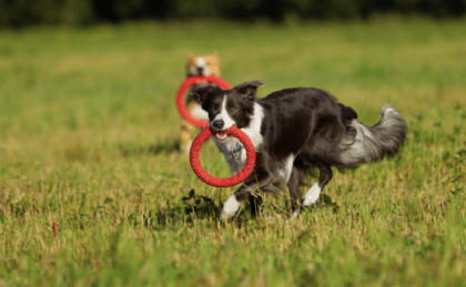 border collie training with frisbee ring