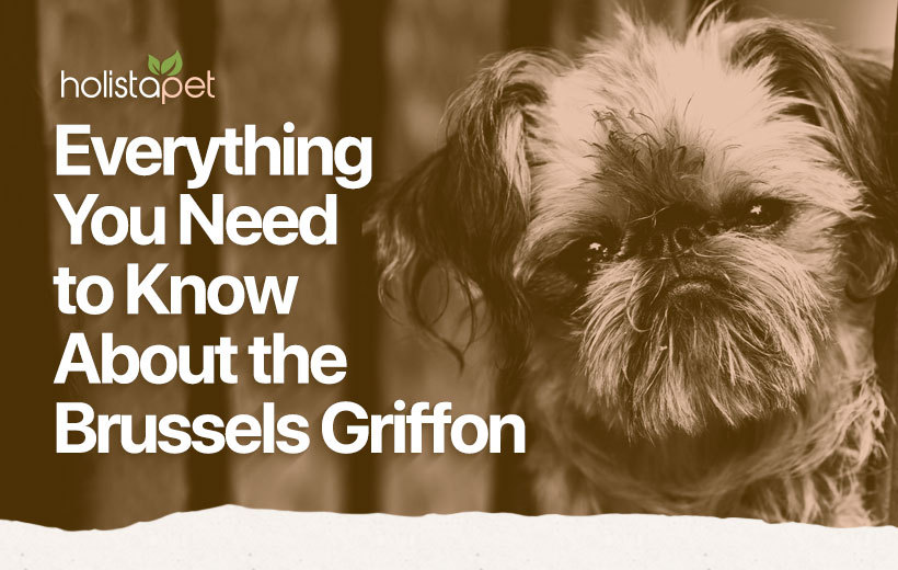 brussels griffon dog breed featured blog image