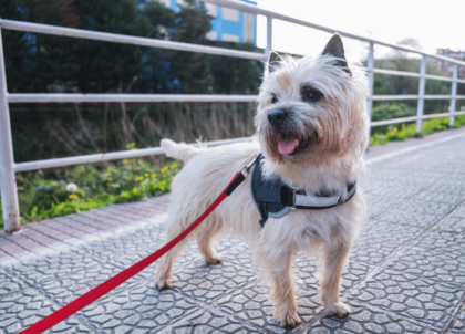 cairn terrier dog breed on a red leash