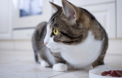 cat looking away from food bowl