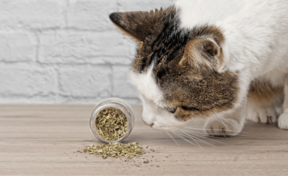 cat smelling dry catnip on wooden floor