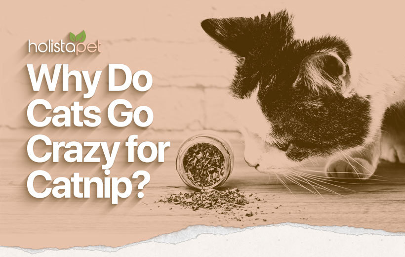 catnip uses and benefits featured blog image