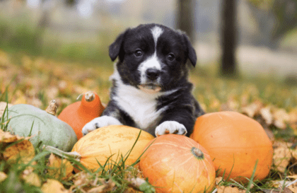 pup posing with pumpkins