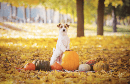 is pumpkin safe to eat for dogs