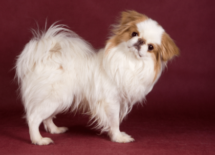 japanese chin dog posing in front of red background