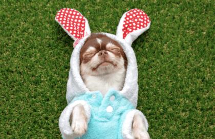 dog in bunny costume