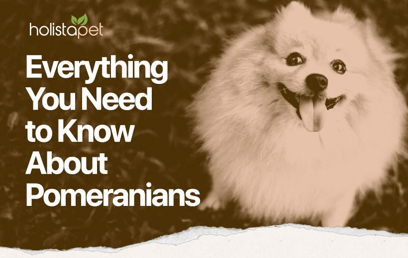 pomeranian dog breed featured blog image