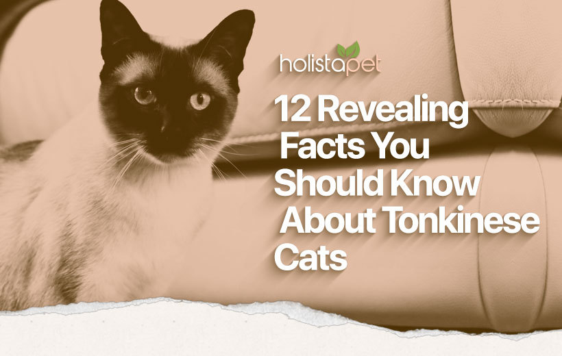 tonkinese cat breed featured blog image