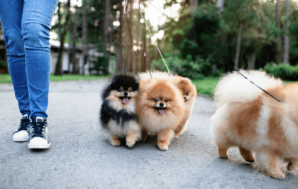 four pups going on a walk