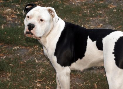 black and white american bulldog
