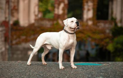 a white american bulldog posing