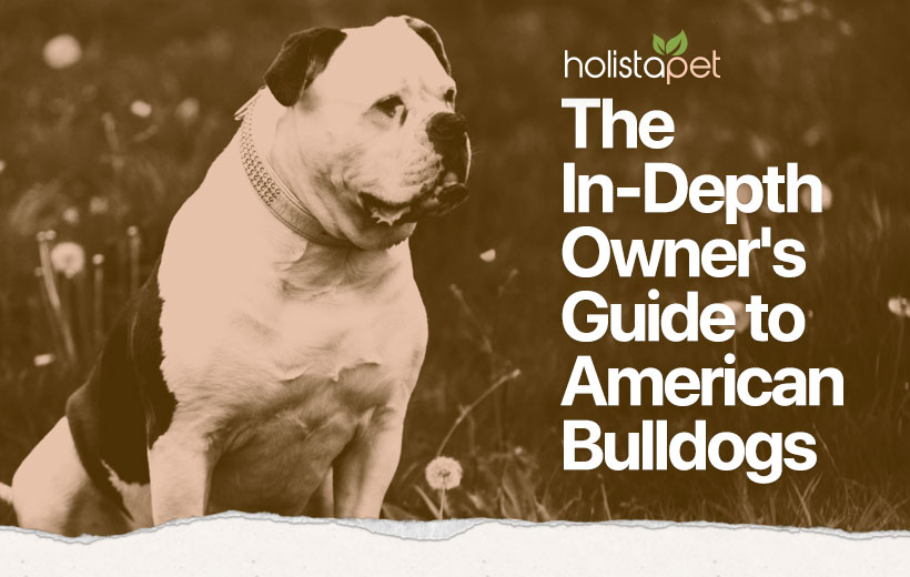 american bulldog feature blog image