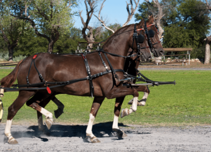 two large brown horses with white legs pull a wagon in sync with one another