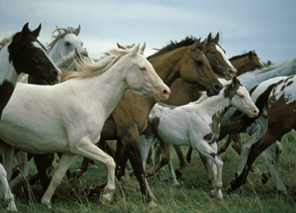 a large herd of horses galloping through an open grass field