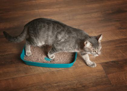 common cat constipation symptoms