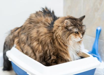 constipated cat inside litter box