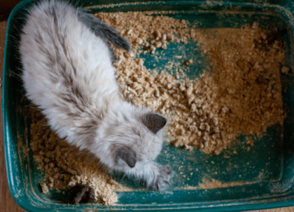 kitten with constipation in green litter box