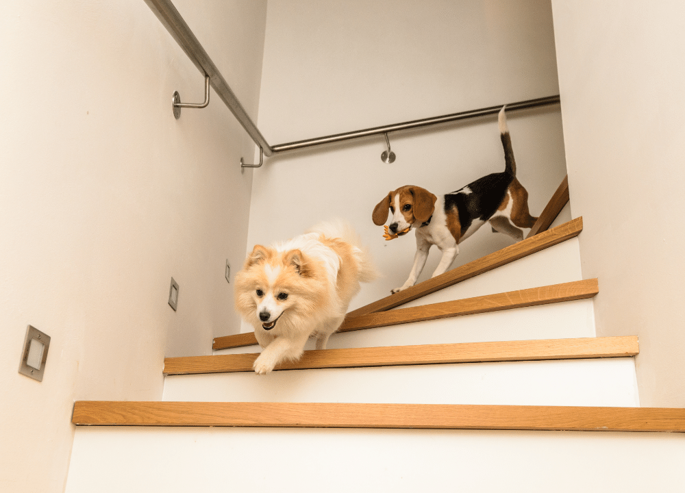 german spitz and beagle running down stairs