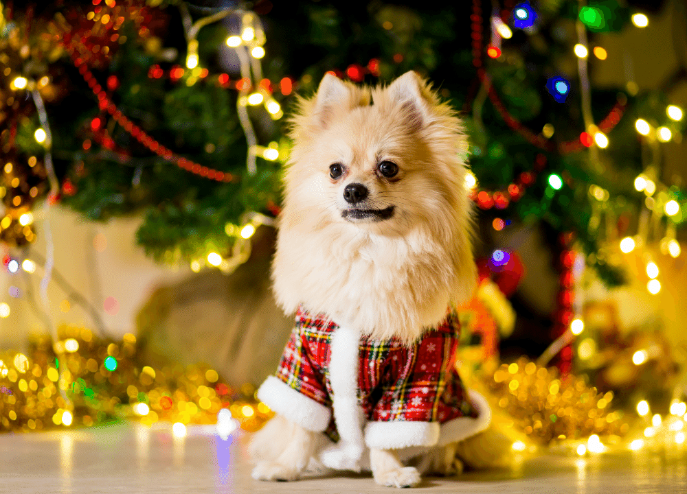 a small tan puppy wearing a plaid christmas outfit sitting in front of xmas tree
