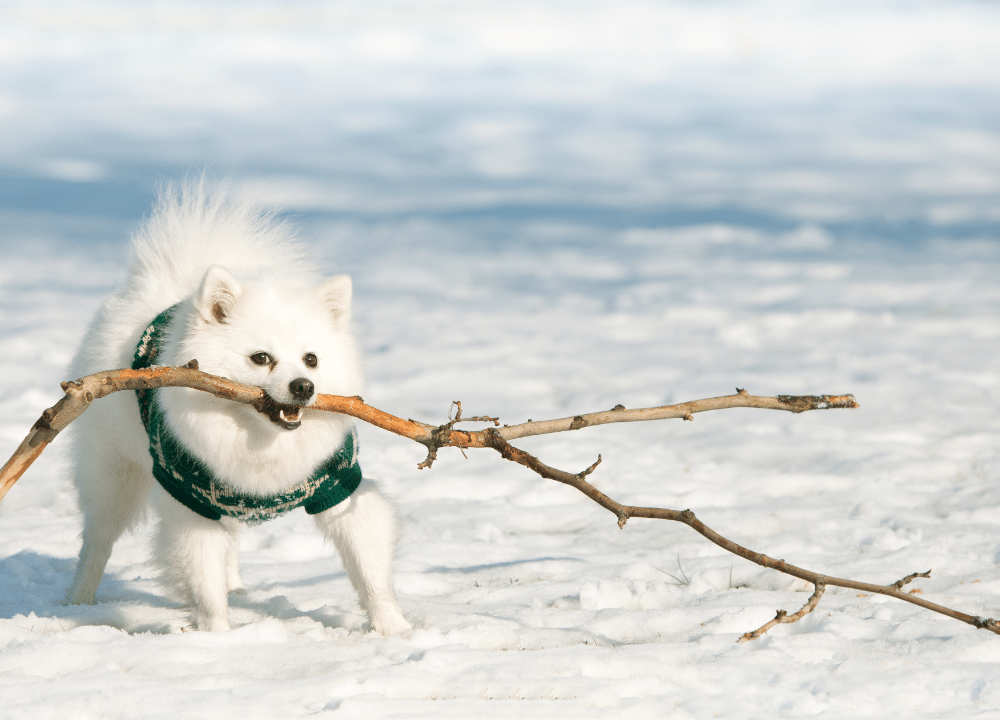 a white german spitz wearing a green sweater in the snow