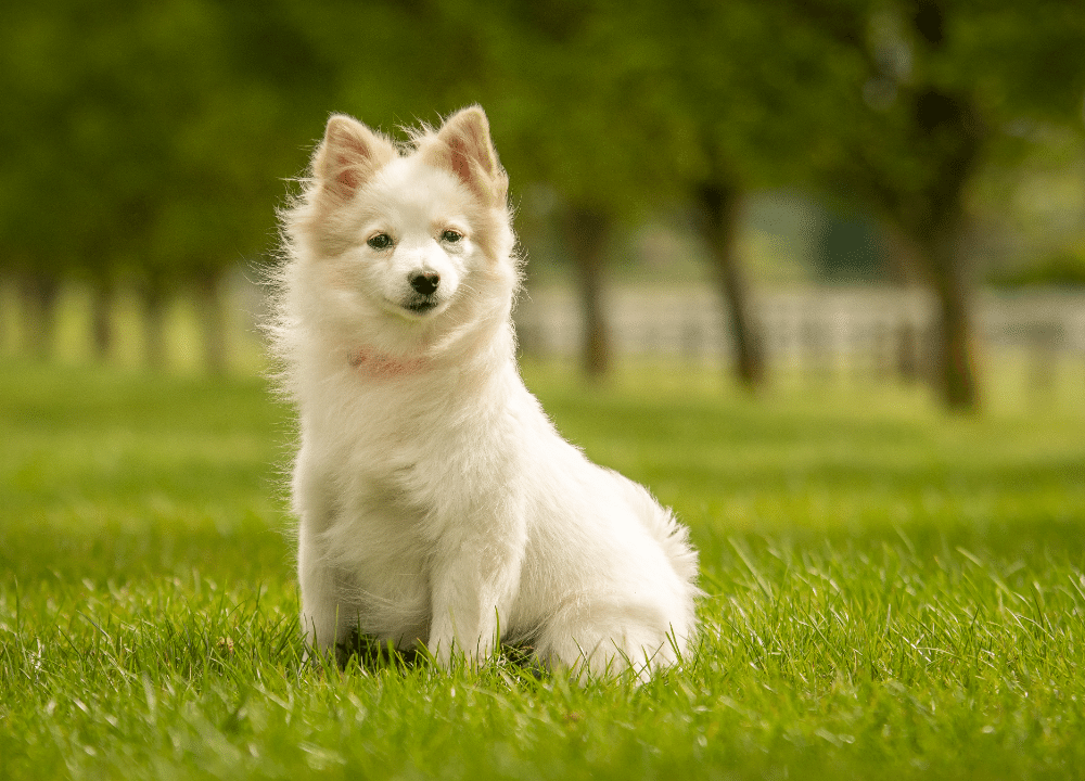 small petite white puppy sitting on green grass