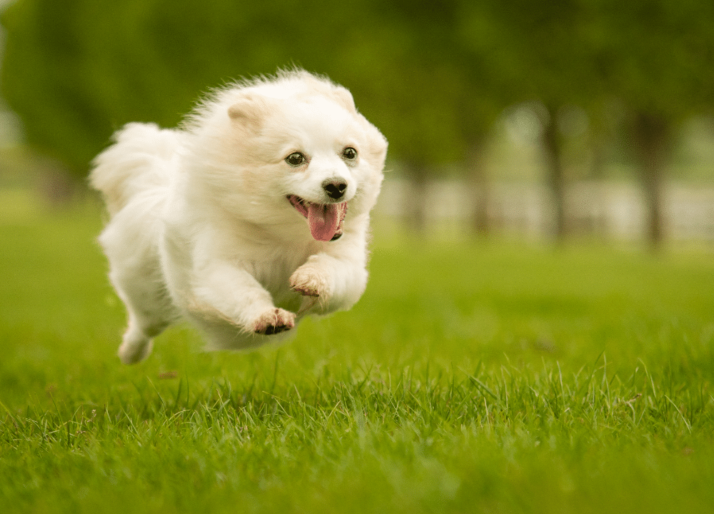 an excited german spitz quickly running on grass