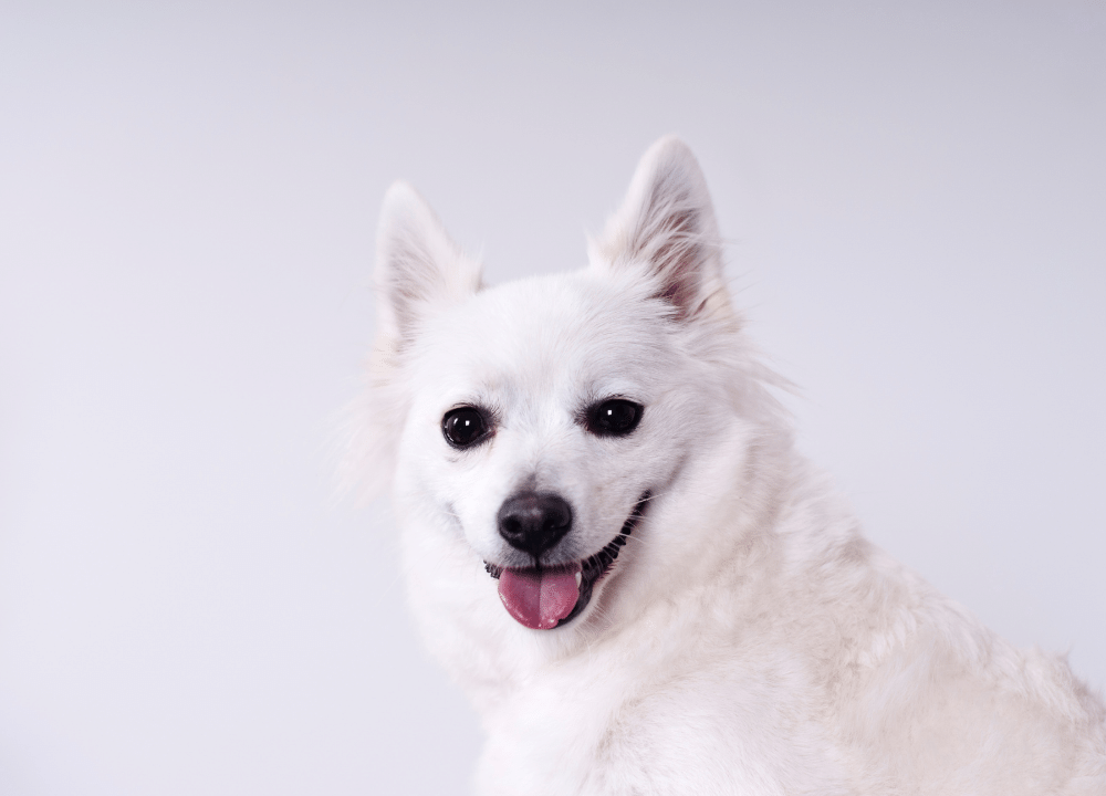 small white puppy in front of light background
