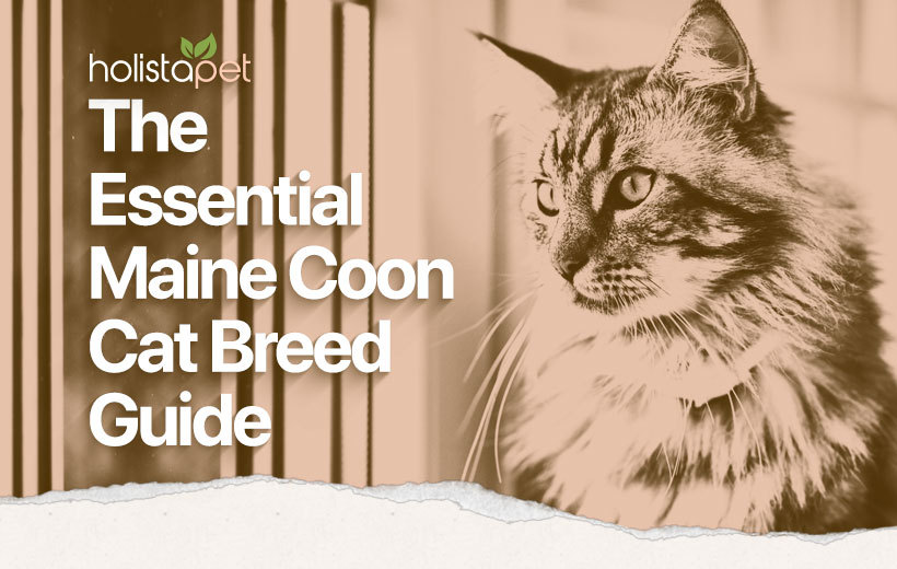 maine coon cat featured blog image