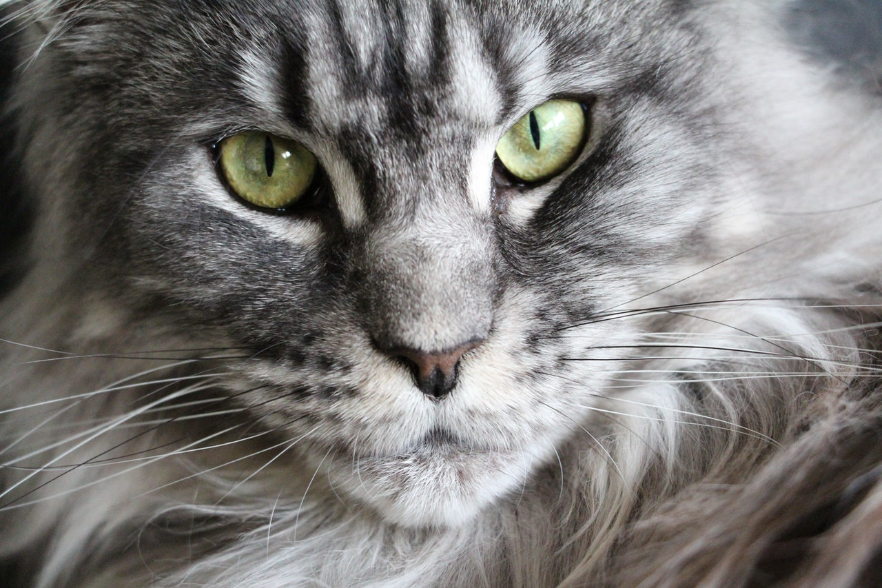 gray cat with green eyes up