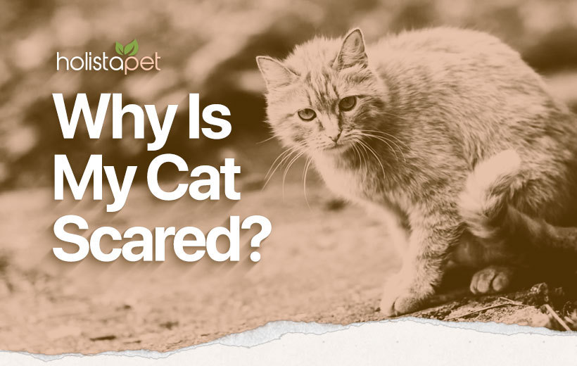 scared cat featured blog image