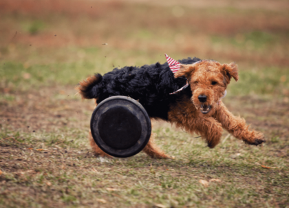 welsh terrier dog running with toy