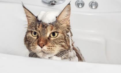 feline getting a bath