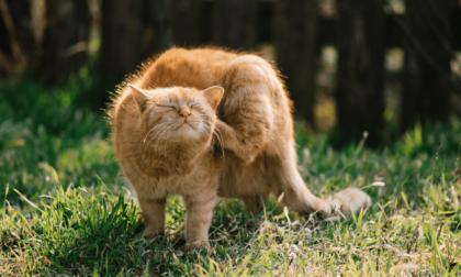 orange cat scratching ears in garden