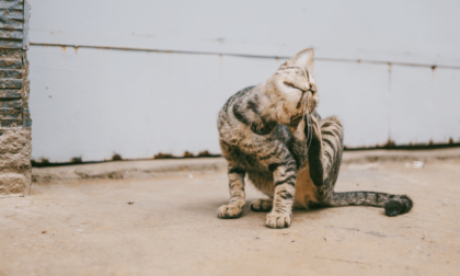 cat scabs