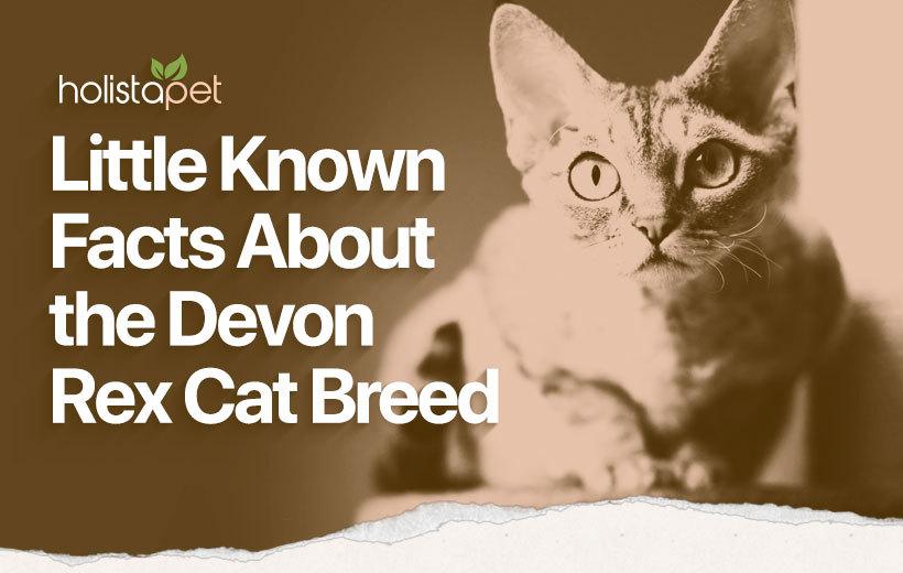 devon rex cat breed featured blog image