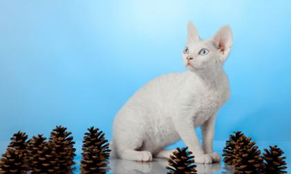 white devon rex cat in front of blue background
