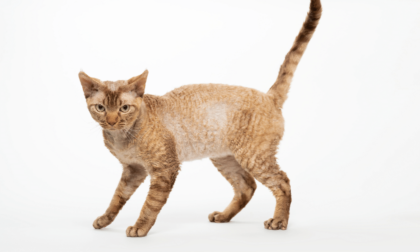 orange cat with scruffy fur posing in front of a white background